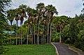 Gruppo di Palme della Cina - panoramio.jpg