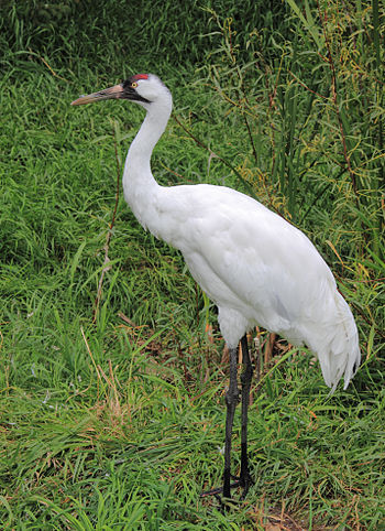 English: The Whooping Crane, Grus americana at...