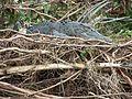 Guarding the nest.jpg