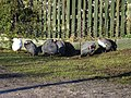 Guineafowl at Brookhill Farm - geograph.org.uk - 336581.jpg