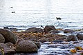 Gulf of Finland at Petergof - panoramio.jpg