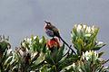 Gurneys Sugarbird (Promerops gurneyi) on flower, from side.jpg