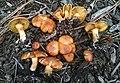 Gymnopilus humicola Harding ex Singer 591146.jpg