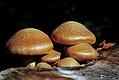 Gymnopilus spectabilis. (9976824226).jpg