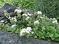 Gypsophila cerastioides 812.JPG