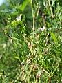 Gypsophila muralis sl56.jpg