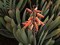 H20140331-1183—Kumara plicatilis (Syn Aloe plicatilis)—UCBG (13593335873).jpg