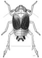 HEMI Delphacidae Sulix tasmani.png