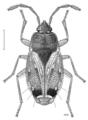 HEMI Rhyparochromidae Woodwardiana evagorata.png