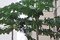 HK 上環 Sheung Wan 裕林臺 U Lam Terrace 木瓜樹 papaya tree October 2017 IX1 02.jpg