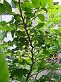 HK Sheung Wan 醫院道 Hospital Road green leaves Aug 2016 DSC 008.jpg
