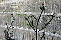 HK TKL 調景嶺 Tiu Keng Leung view 翠嶺路 Chui Ling Road 鐵海棠 green plant n red flowers 虎刺梅 Euphorbia milii May 2018 IX2 01.jpg