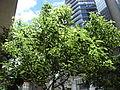 HK Wan Chai Hennessy Road The Wesley tree July-2012.JPG