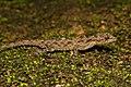 HS-6479-Cnemaspis cf. gracilis.jpg