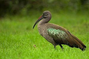 Hadada ibis - From Lake Naivasha, Kenya