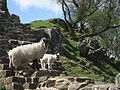 Hadrian's Wall with sheep 2.jpg