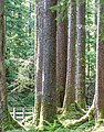 Haida Gwaii (Queen Charlotte Islands) - Graham Island - nice forest - (21372554670).jpg