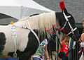 Half Arabian Pinto Stallion, Black Tie Affair (5992585448).jpg