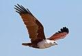 Haliastur indus -Karratha, Pilbara, Western Australia, Australia -flying-8 (12).jpg