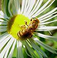 Halictus scabiosae - Flickr - gailhampshire (2).jpg