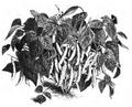 Haricot d'Alger noir nain Vilmorin-Andrieux 1883.png