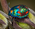 Harlequin bug instar (Explored) (8600292294).jpg