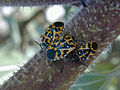 Harlequin cabbage bug.JPG