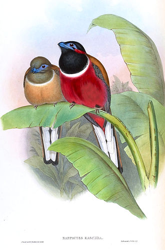 Red-naped trogon - Female and male