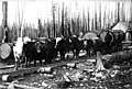 Hauling logs with team of oxen, Enumclaw, Washington, ca 1878 (WASTATE 310).jpeg