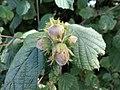 Hazel cobnut or filbert (Corylus avellana), Sampford Courtenay, Devon.jpg