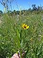 Helianthus maximiliani - SKSunflower.jpg
