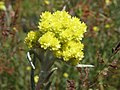 Helichrysum arenarium.jpeg
