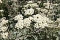 Helichrysum petiolare00.jpg