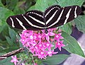 Heliconius charitonius (zebra longwing butterfly) (Florida, USA) 7 (17072599740).jpg
