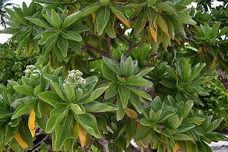 Heliotropium foertherianum - Heliotropium foertherianum