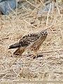 Hen Harrier (Circus cyaneus) (43999208970).jpg