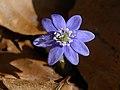 Hepatica nobilis 20210226.jpg