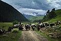 Herders moving home, Yaks crossing road (11622424524).jpg