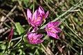 Hesperantha baurii (Iridaceae) (6932181625).jpg