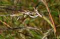 Heteropogon contortus W2 IMG 3505.jpg