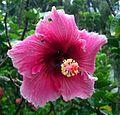 Hibiscus Da Lat.jpg