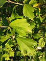 Hibiscus syriacus sl3.jpg