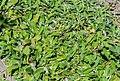Hieracium pilosella in Jardin des 5 sens (2).jpg