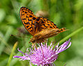 High Brown Fritillary. Argynnis adippe. Male.( sex brand prominent) (16155040931).jpg
