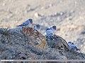 Hill Pigeon (Columba rupestris) (45487819984).jpg