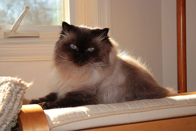 El Gato himalayo es el resultado del cruce entre gato Persa y Siamés