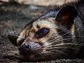 Himalayan Palm Civets.jpg