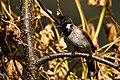 Himalayan bulbul - Bird from Nepal by Krishna (57).jpg