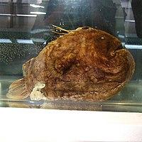 Himantolophus groenlandicus by OpenCage