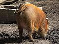 Hinterteil weibliches Pinselohrschwein Zoo Landau.JPG